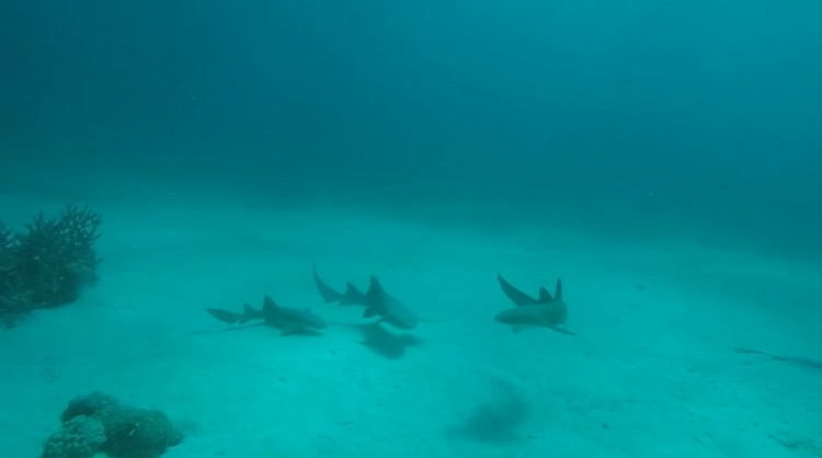 Scuba Certification -Shark Family